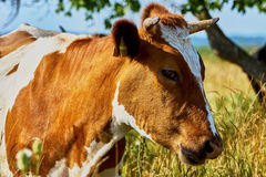 Kuh auf einer Sommerweide Lizenzfreie Stockfotos