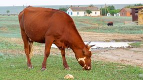 Kuh auf einer Sommerweide stockbild