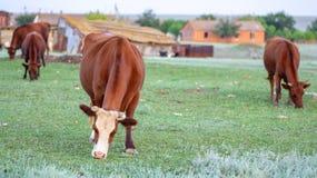 Kuh auf einer Sommerweide lizenzfreie stockfotografie