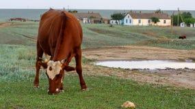 Kuh auf einer Sommerweide lizenzfreies stockfoto