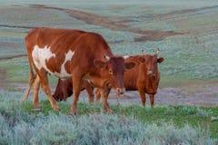 Kuh auf einer Sommerweide stockfotografie