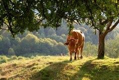Kuh auf einer sonnigen Wiese Stockbild