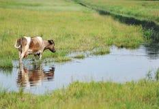 Kuh auf einer Wasserentnahmestelle Lizenzfreie Stockfotografie