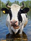 Kuh auf einer Wasserentnahmestelle Stockfotos
