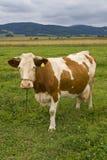 Kuh auf einer Weide Stockfoto