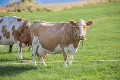 Kuh auf einer Weide Lizenzfreies Stockbild