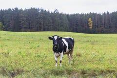 Kuh auf einer Wiese Stockbilder