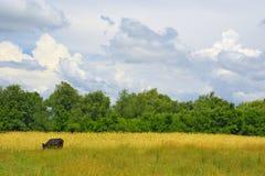 Kuh auf einer Wiese Stockbild