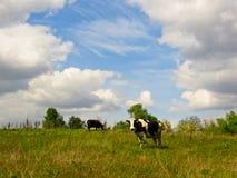 Kuh auf einer Wiese Stockfoto