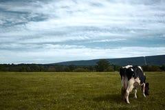 Kuh auf einer Wiese Stockfotografie