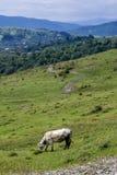 Kuh auf einer Wiese mit unscharfen Bergen im Hintergrund Lizenzfreie Stockfotos