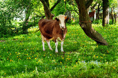 Kuh auf grünem Gras Stockbild
