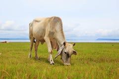 Kuh auf grünem Gras und blauem Himmel Lizenzfreies Stockbild