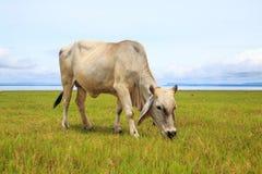 Kuh auf grünem Gras und blauem Himmel Lizenzfreie Stockfotografie