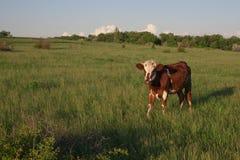 Kuh auf grünem Gras und blauem Himmel mit Licht Stockfotografie