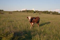 Kuh auf grünem Gras und blauem Himmel mit Licht Stockbild