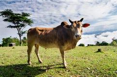 Kuh auf grünem Gras und blauem Himmel mit Wolken Stockfoto
