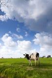 Kuh auf grüner Wiese Lizenzfreie Stockfotos
