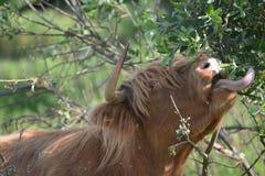 Kuh auf Gras essen mehr als Gras Stockbild