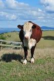 Kuh auf Hügel Stockbild