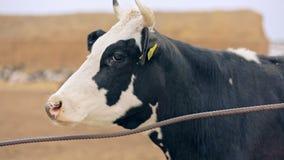 Kuh auf Milchbauernhof Melkkuh auf Molkerei Tierhaltung stock footage