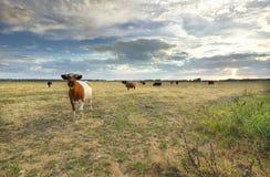 Kuh auf Sommerweide stockfotografie