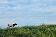 Kuh auf Steigung des grünen Grases auf Hintergrund des blauen Himmels Stockbild