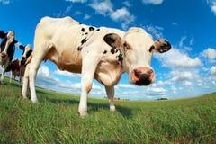 Kuh auf Weide über blauem Himmel Stockfoto
