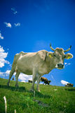 Kuh auf Weide stockfotografie