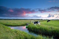 Kuh auf Weide bei Sonnenuntergang Lizenzfreies Stockfoto