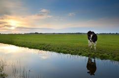 Kuh auf Weide bei Sonnenuntergang reflektierte sich im Fluss Lizenzfreies Stockfoto