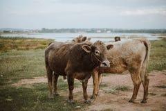 Kuh auf Weide während des Herbstmorgens Stockfotografie