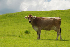 Kuh auf Wiese Lizenzfreie Stockfotos