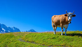 Kuh auf Wiese lizenzfreie stockbilder