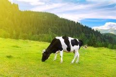 Kuh auf Wiese in den Bergen Stockfotografie