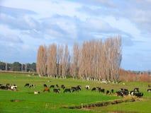 Kuh-Bauernhof Stockfotografie