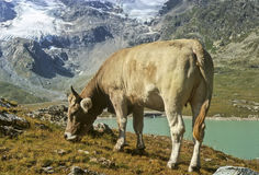 Kuh in den Alpen Lizenzfreie Stockfotos