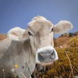 Kuh in den Alpen Stockfotografie