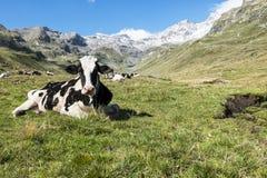 Kuh in den Alpen Stockfotos