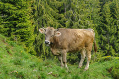 Kuh in den Alpen Stockfoto