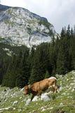 Kuh in den Bergen Lizenzfreies Stockfoto