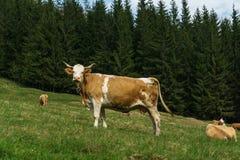 Kuh in den Bergen Lizenzfreies Stockbild