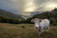 Kuh in den moutains Stockfotografie