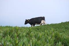 Kuh in den Wiesen Lizenzfreies Stockbild