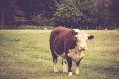 Kuh in der englischen Landschaft Lizenzfreie Stockfotografie