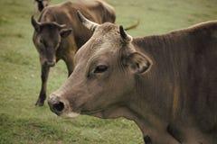Kuh in der Landschaftsweide, Ökologie stockfotos