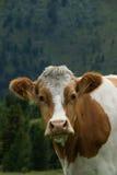 Kuh in der Nock-Alpe, Österreich Stockbilder