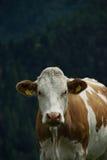 Kuh in der Nock-Alpe, Österreich Stockfotografie