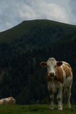Kuh in der Nock-Alpe, Österreich Lizenzfreie Stockfotografie
