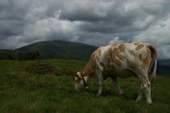 Kuh in der Nock-Alpe, Österreich Stockbild